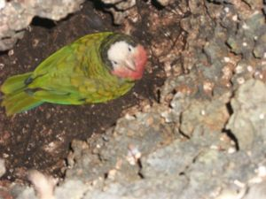 Cuban Amazon in its limestone burrow/nest