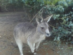 A forest kangaroo at a wildlife park in Tasmania