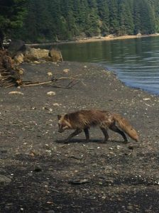 Fox on Afognak beach