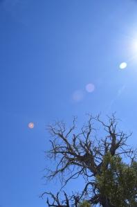 Juniperus osteosperma, The classic juniper of Western Colorado's arid pinyon-juniper woodlands.