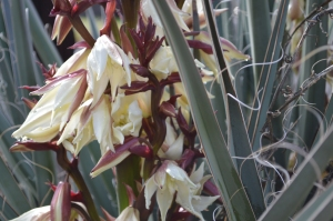 Up-close shot of Yucca flowers.  The local species is Yucca harrimaniae but I found this growing on a street corner, so I'm not sure of species.