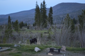 A moose at Rocky Mountain National Park, Colorado