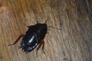 Giant Cockroach in Ecuador