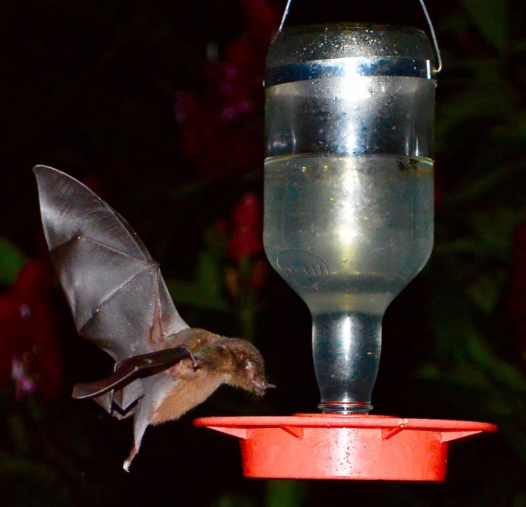 At night if not taken in, hummingbird feeders become bat feeders