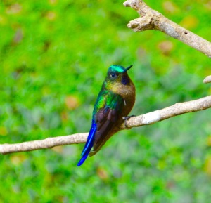 A Violet-tailed Sylph (Aglaiocercus coelestis) with a rather short tail (possibly its tail was molting)