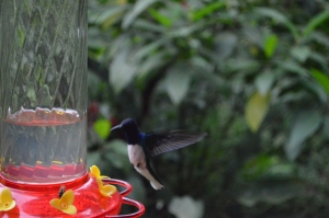 A male White-necked Jacobin coming to the feeder