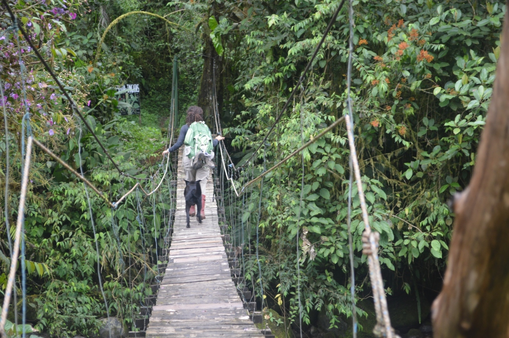This is how we learned that Holly, (an old pro at being a jungle dog) indeed walked across a scary, moving bridge instead of swimming the river. She just followed us home one day, going right across the bridge with Erin.