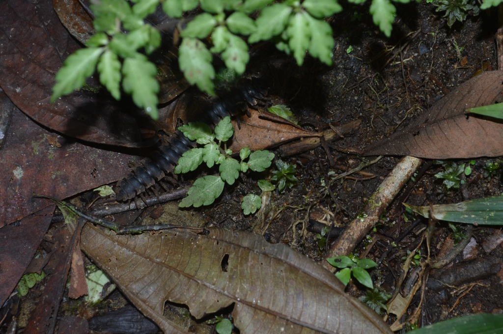 Unfortunately I don't have any good pictures of centipedes or other millipedes, so this is another pic of the same individual...