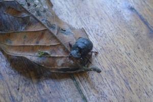 A scarab at the lodge, Reserva Las Tangaras, near Mindo, Ecuador