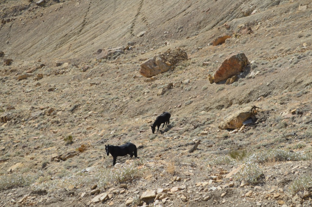 Wild horses on Mt. Lincoln, near Palisade, CO