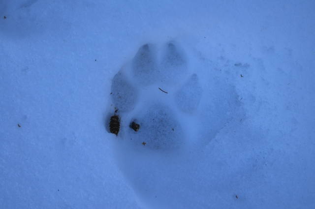 Mountain Lion (Felis Concolor) in the Black Hills, Custer State Park, SD