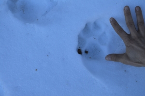My hand next to a mountain lion track.