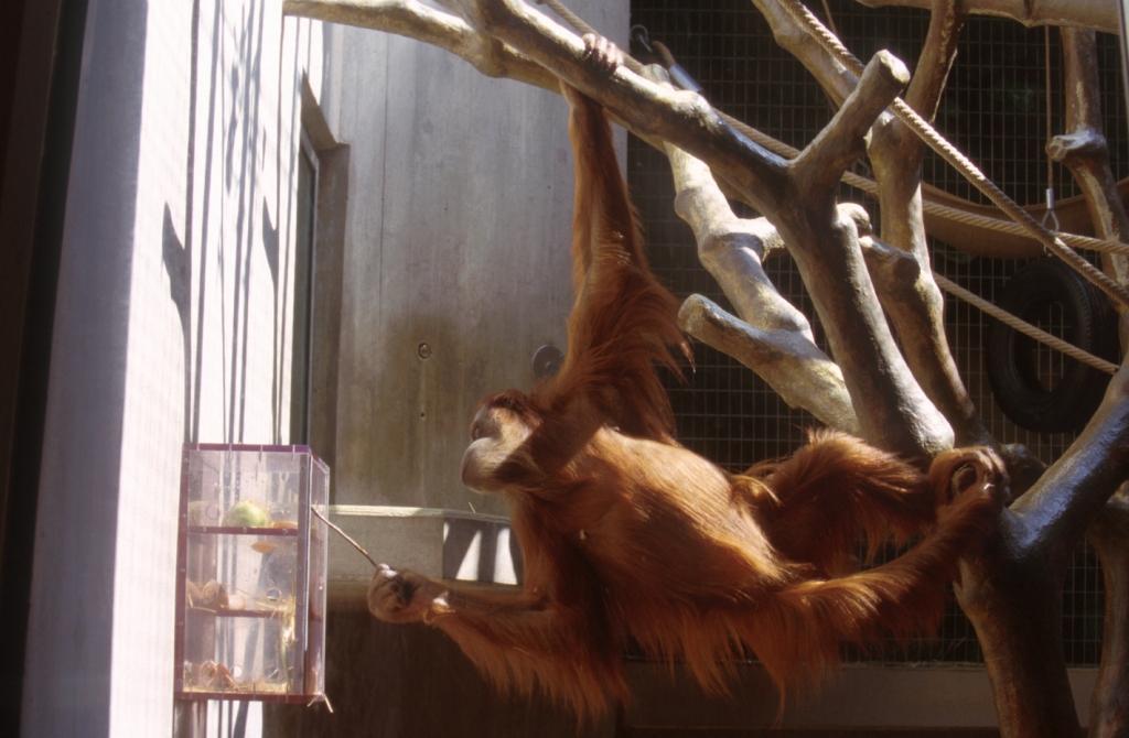 orangutan-captive