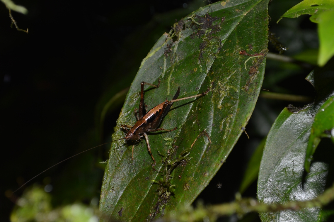 A Katydid on a leaf in the cloud forest, near Mindo, Ecuador.
