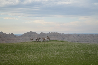 Bighorn sheep playing
