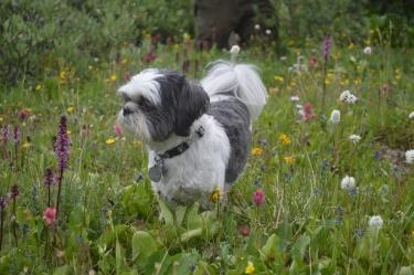 Zari and mountain wildflowers!