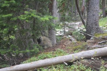 A porcupine near Ptarmigan Lake